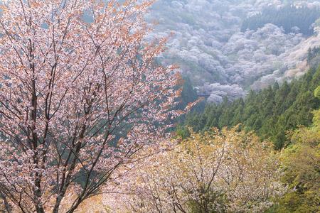 Yoshino en 1000 Banque d'images - 44547551