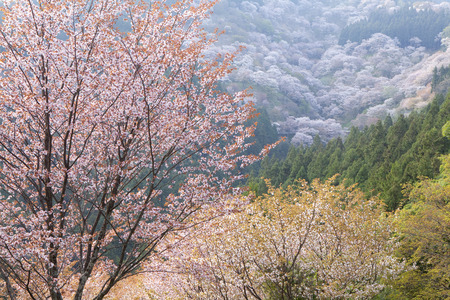 Yoshino in 1,000 Reklamní fotografie - 44547551