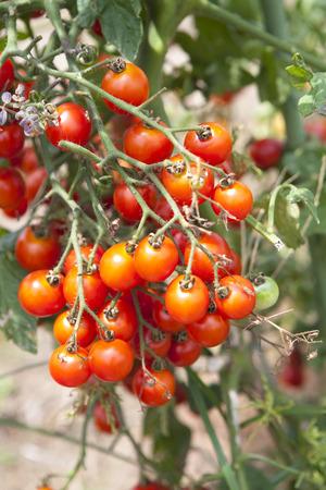tomate cerise: Cherry tomato