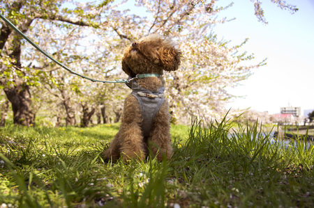 turf flowers: View cherry toy poodle Stock Photo
