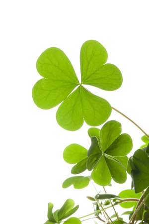 young leaves: Clover of young leaves