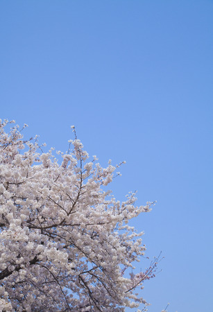 cielos azules: Cielos azules de la cereza
