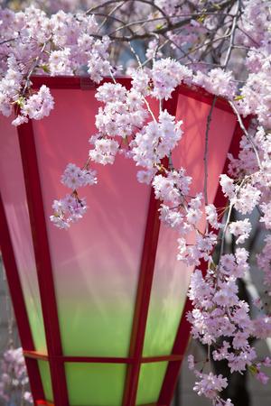 kita: Andon and cherry Stock Photo