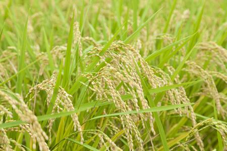 ripened: Ripened grain