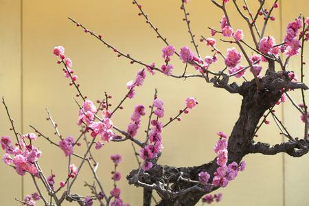 ciruela: Flor del ciruelo Foto de archivo