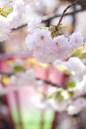kita: Mint blossom cherry