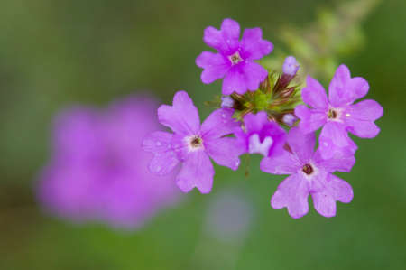 small purple flower: Small purple flower
