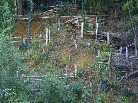 felling: Bamboo grove that was felling