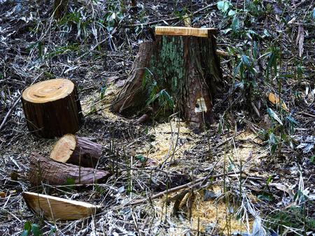 severance: La tala de cedro Foto de archivo