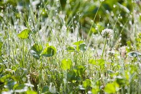morning dew: The morning dew