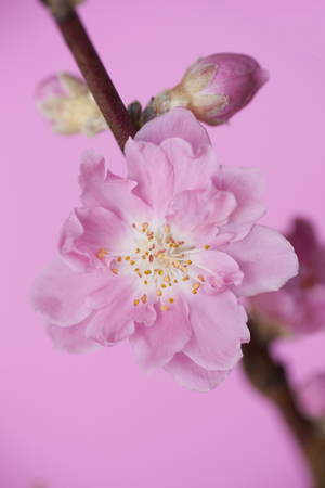 peach blossom: Peach Blossom  Foto de archivo