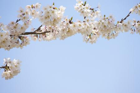 nara: Sakura in Nara Park