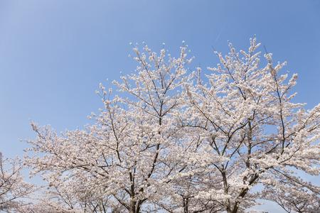 nara park: Sakura in Nara Park