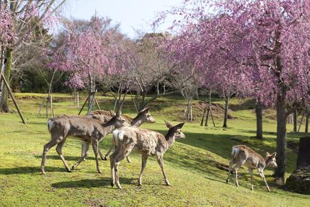 nara park: NARA Park and deer