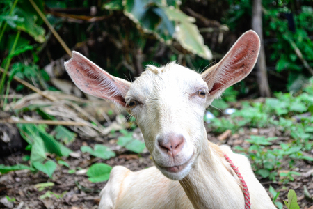 portrait of a white goat