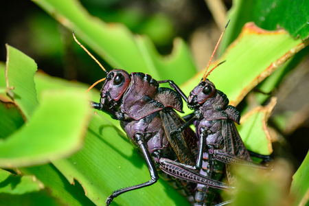 black crickets mating Banque d'images