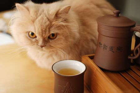 The cat sits beside Chinese tea photo