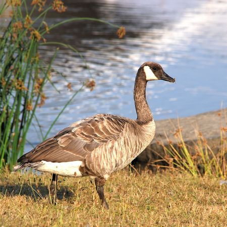 Canadian goose near the lake in English Bay, Vancouver, BC Canada Stock Photo - 5284505
