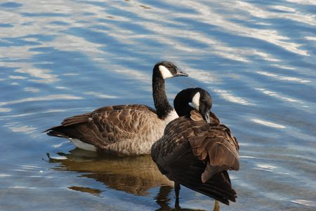 Canadian goose Stock Photo - 7947445