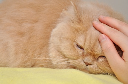 Touching persian cat photo