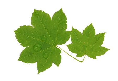 Brightly green maple leaf isolated on a white background