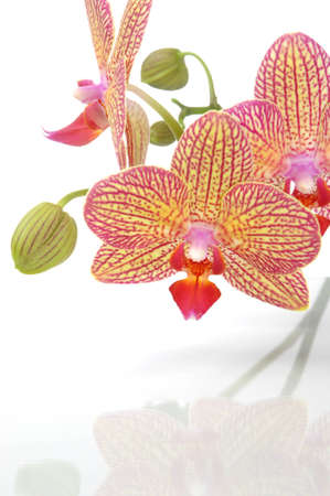Beautiful orchid flower phalaenopsis reflected in water Stock Photo - 12594657