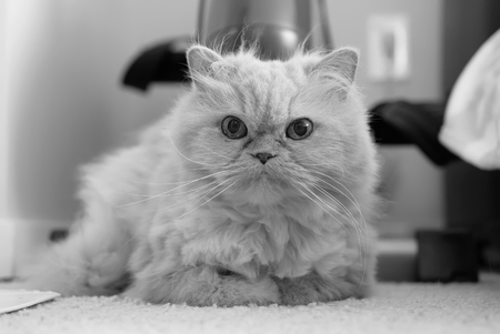 chairs: Cute persian cat laying on carpet with black and white toned Stock Photo