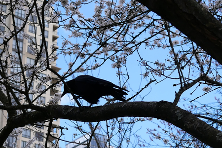 Motion of crow standing on tree and blowing tree leaf against blue cloudy sky Archivio Fotografico