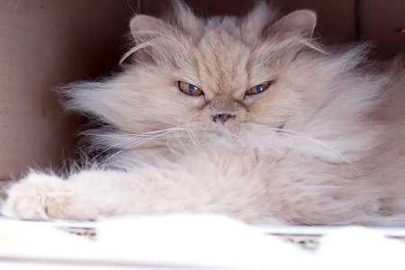Close up of persian cat playing with people inside box Archivio Fotografico