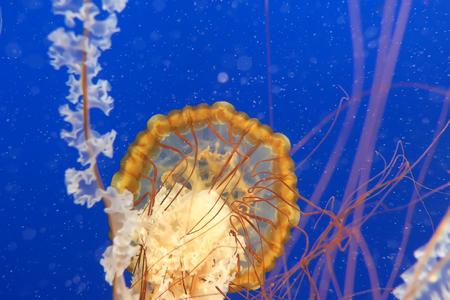 Orange jellyfish in blue ocean water background