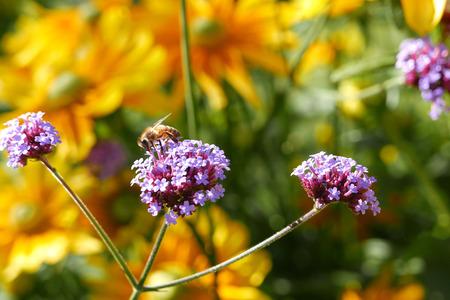 Bee collecting pollen on purple flower