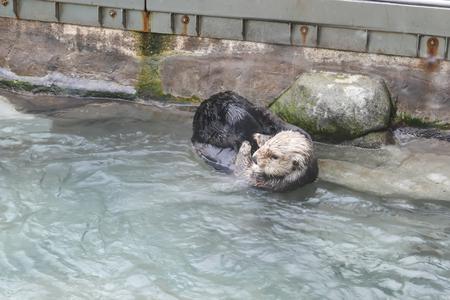 Sea otter rubbing face and body inside Vancouver aquarium Archivio Fotografico