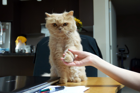 Close up persian cat shaking hand with people on table Archivio Fotografico