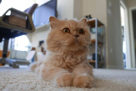 Motion of persian cat lie down on the floor Archivio Fotografico - 144337984