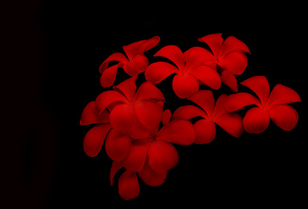 red Glorious frangipani or red plumeria flowers with black background