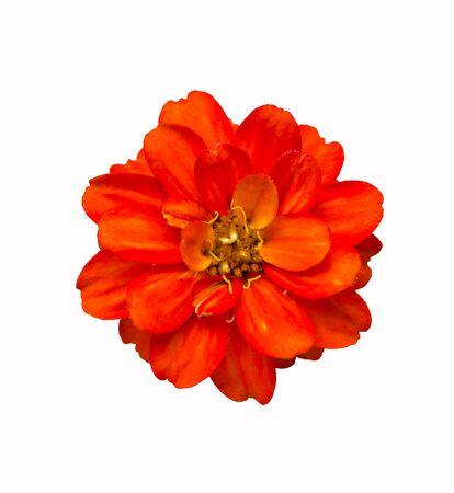 Rote Blume mit Beschneidungspfad isoliert