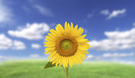 Single Yellow sunflower on blurry blue sky background Stock Photo