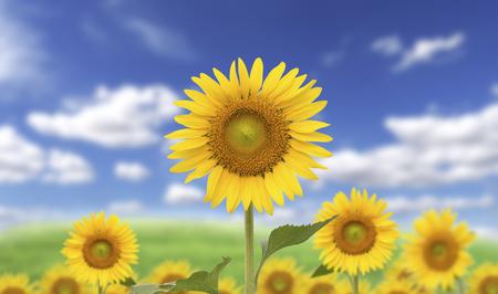 Gelbe Sonnenblumen auf undeutlichem Hintergrund des blauen Himmels Standard-Bild - 90333917