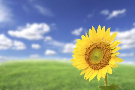 Einzelne gelbe Sonnenblume auf undeutlichem Hintergrund des blauen Himmels Standard-Bild - 90334037