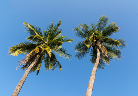 coconut trees on blue sky Imagens