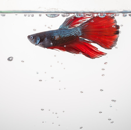 siamese: Betta fish siamese fighting fish Stock Photo