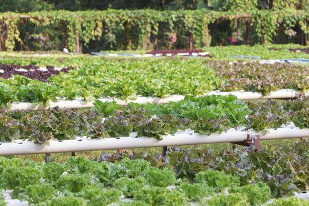 butter head: Green cos lettuce  Butter head hydroponics vegetable farm. Stock Photo