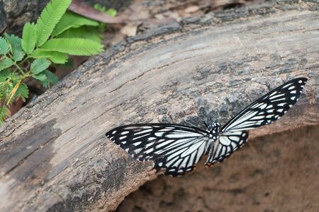 Black butterfly perched on a log. Stock Photo
