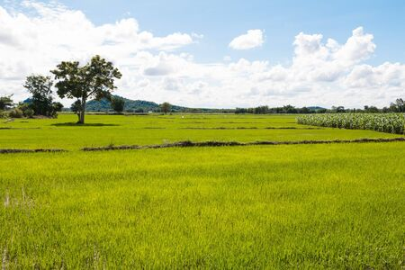 Rice field all green and blue sky cloud cloudy.