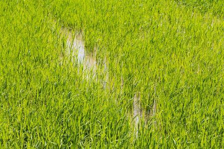 Rice field all green