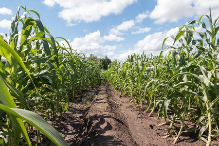 Way in corn field with cloudy blue sky. Archivio Fotografico