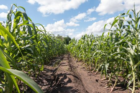 Way in corn field with cloudy blue sky. Stock Photo