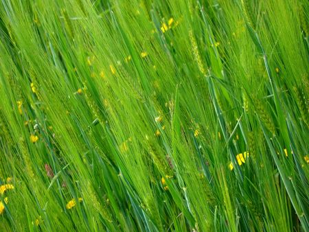 wheatfield: Wheat-field
