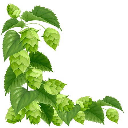 Branch of hops isolated on white background Illustration