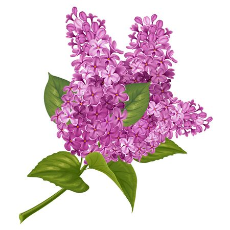 fragrant: Spring flowers. Gentle fragrant branch of purple lilac. Vector illustration. Isolated on white background.